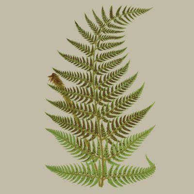 image for Ferns - Horsetails