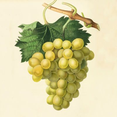 image for Viticulture - Wine - Grapes